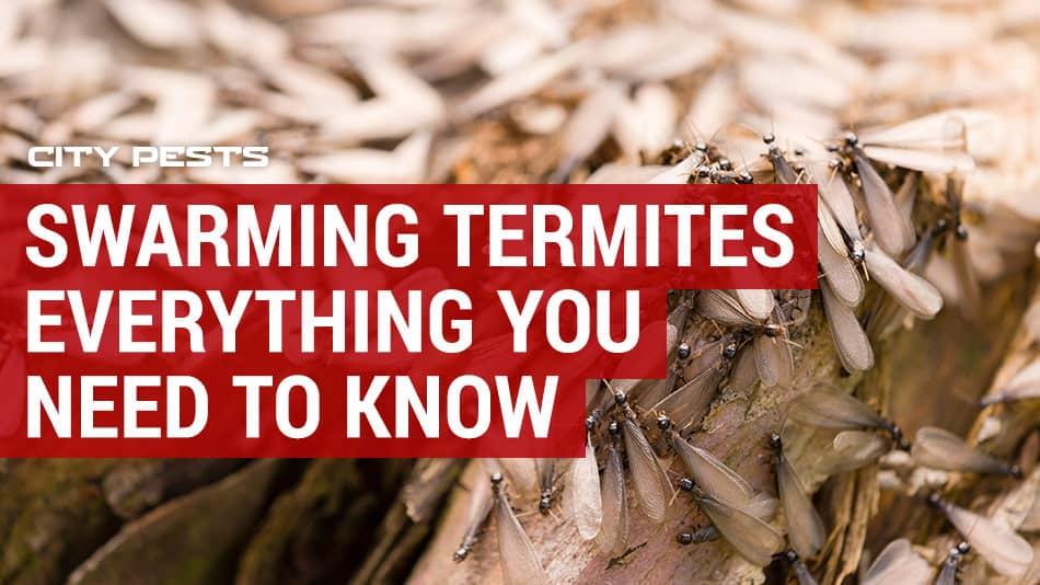 termite swarms