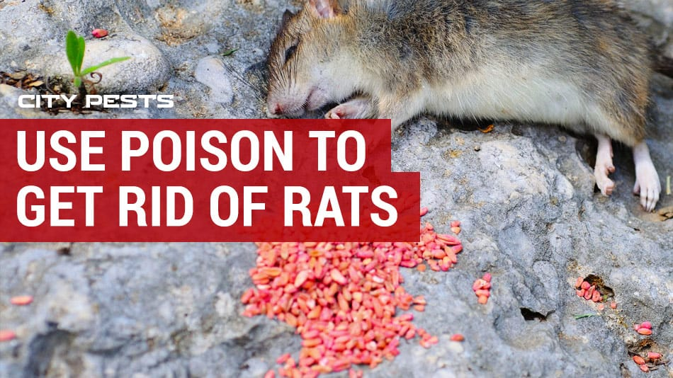 use poison to get rid of rats in your home