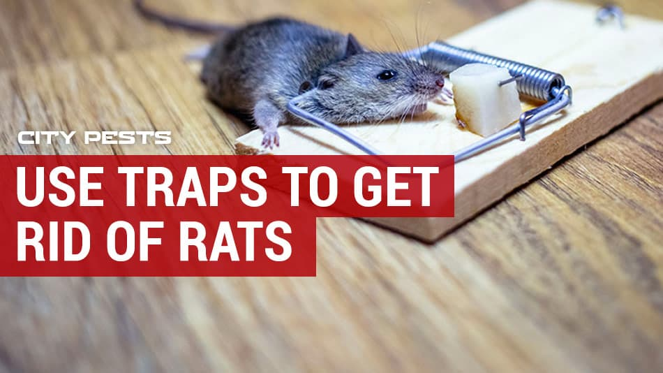 use traps to get rid of rats