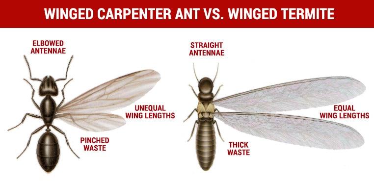 winged carpenter ant vs winged termite