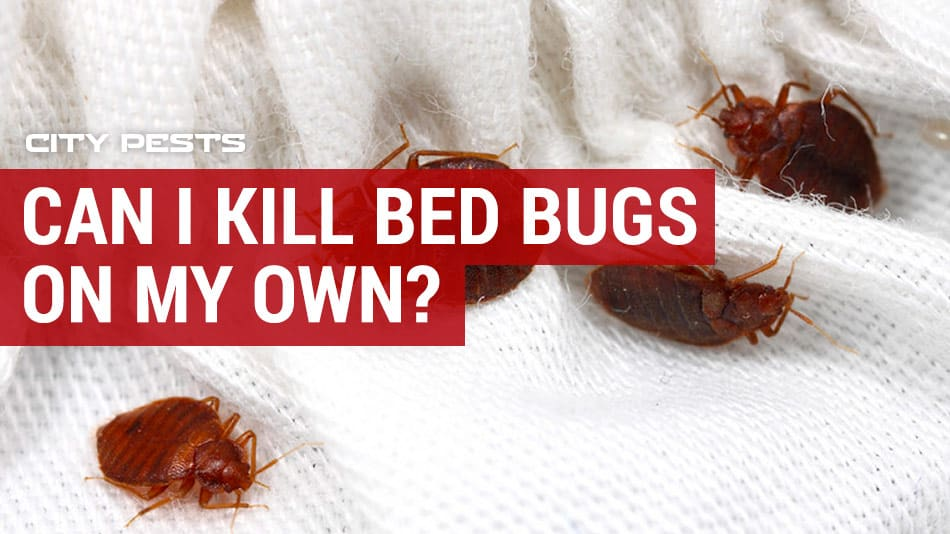 can I kill bed bugs on my own