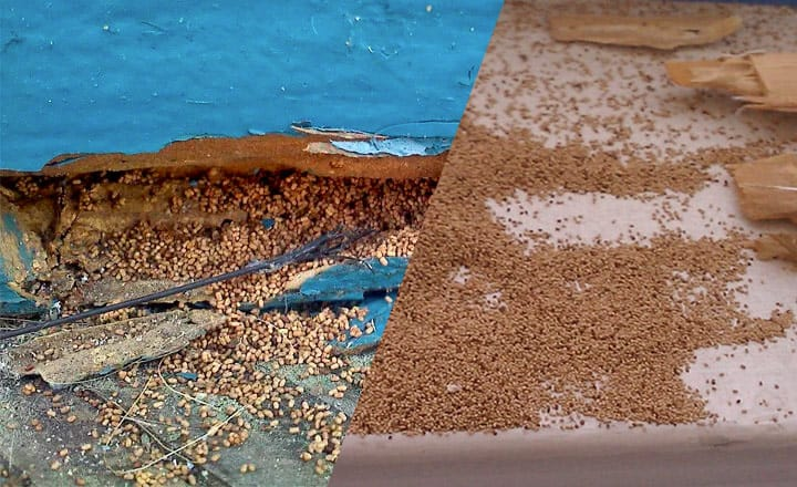can termite frass make you sick