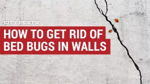how to get rid of bed bugs in walls