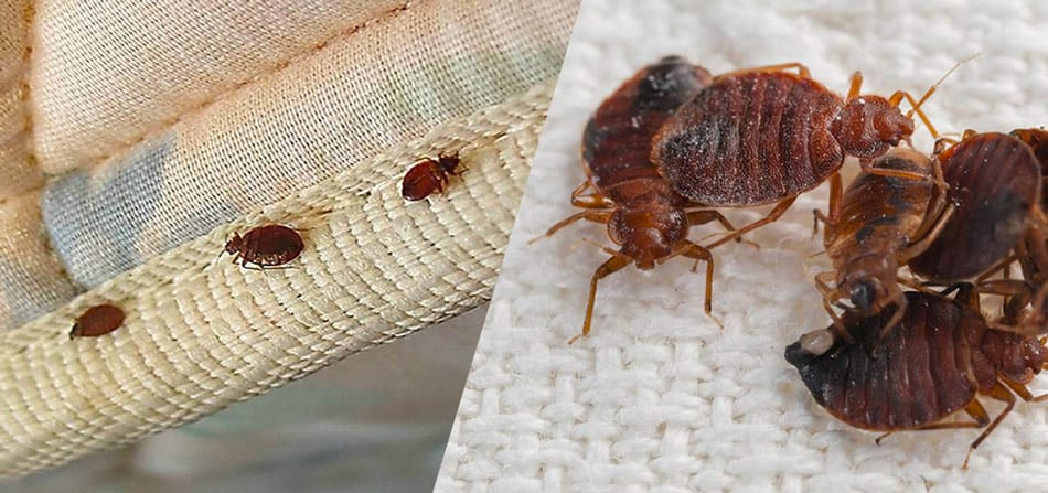 how to treat bed bugs yourself