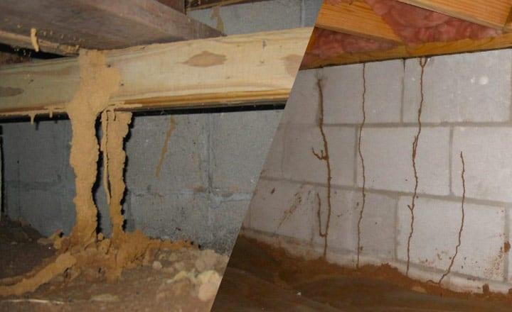 large subterranean termite mud tubes