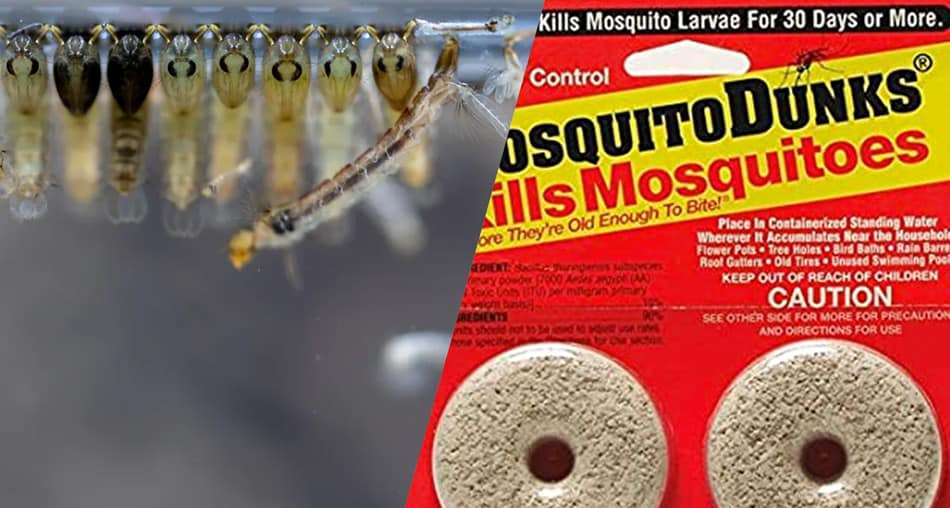 You can use mosquito dunks to kill larvae