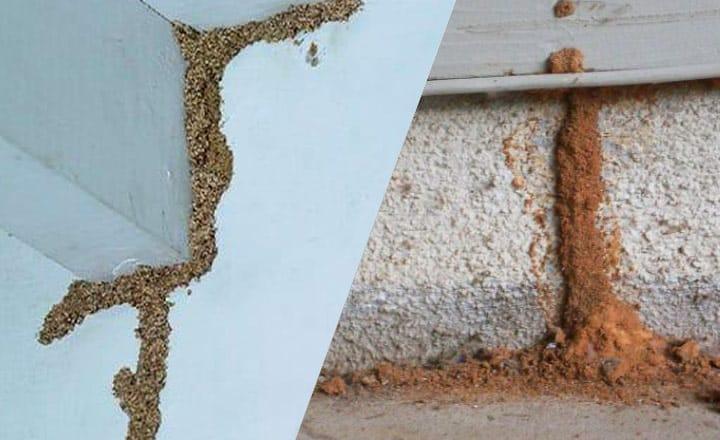 subterranean termite mud tube picture