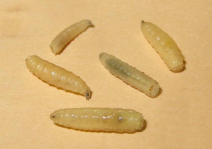 termite larvae picture