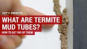 termite mud tubes