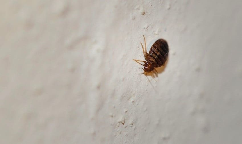 reasons why bed bugs live in walls
