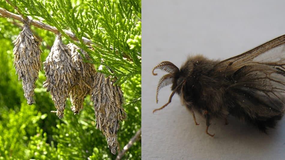 evergreen bag worm moth