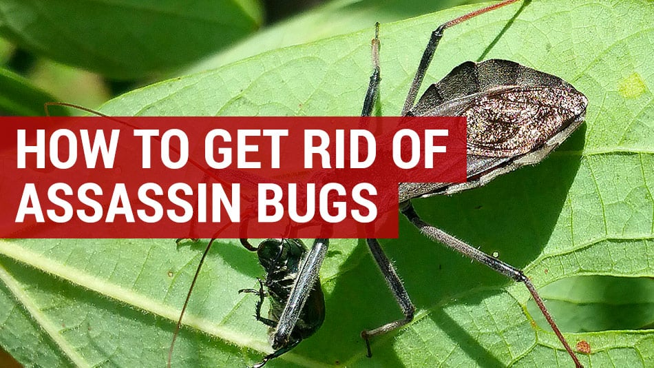 How to Get Rid of Assassin Bugs