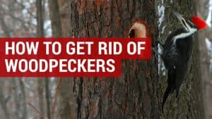 how to get rid of woodpeckers