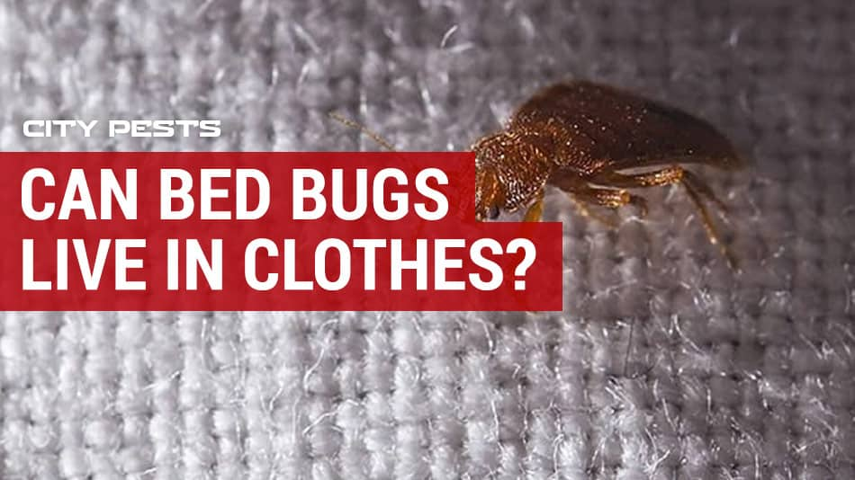 can bed bugs live in clothes