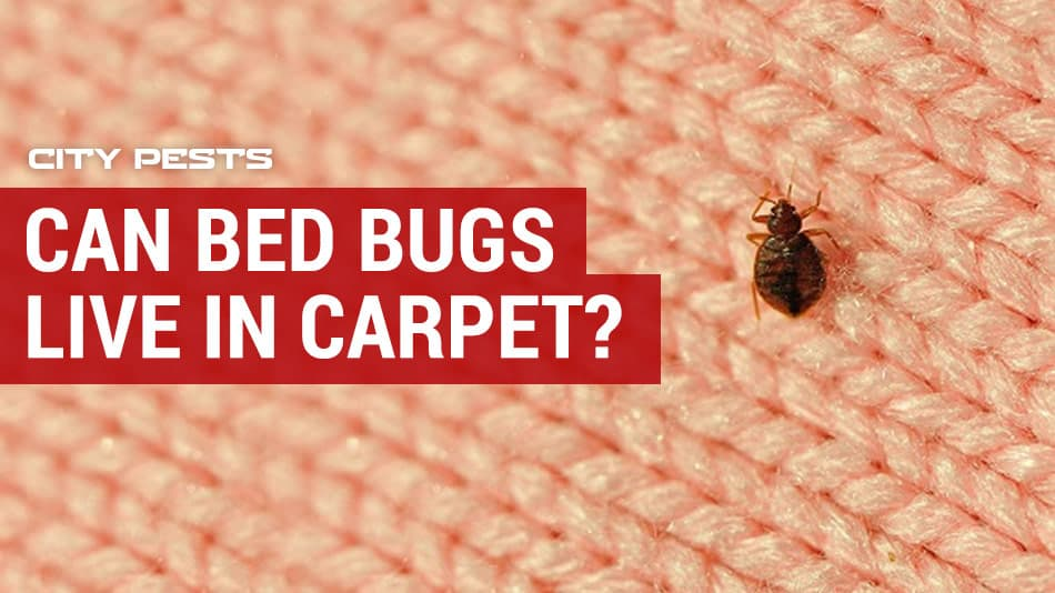 can bed bugs live in carpet