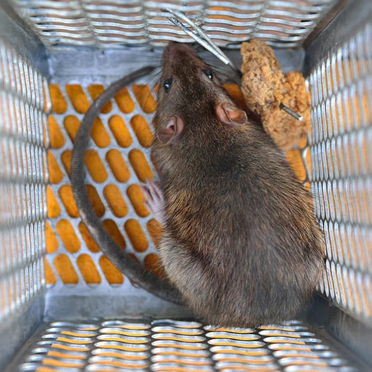 humane rat trap