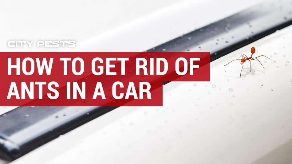 how to get rid of ants in your car