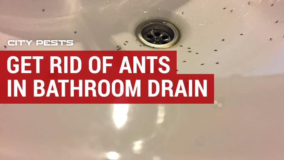 ants in bathroom drain and sink