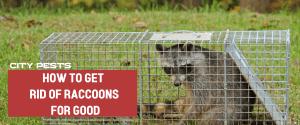 get rid of raccoon