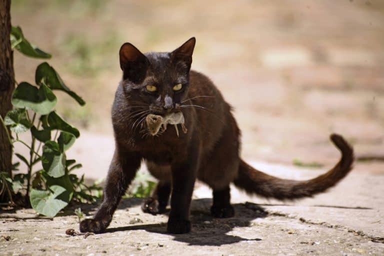 Cat with mouse in mouth after successful hunt