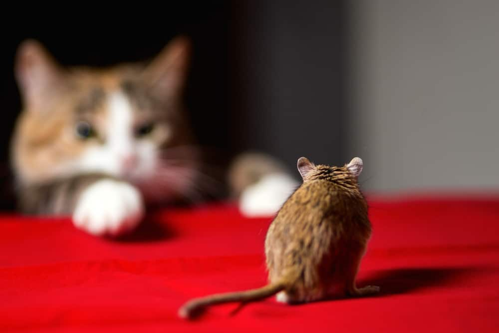 Cat hunting little gerbil mouse