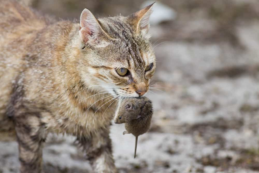 Tabby cat holding prey