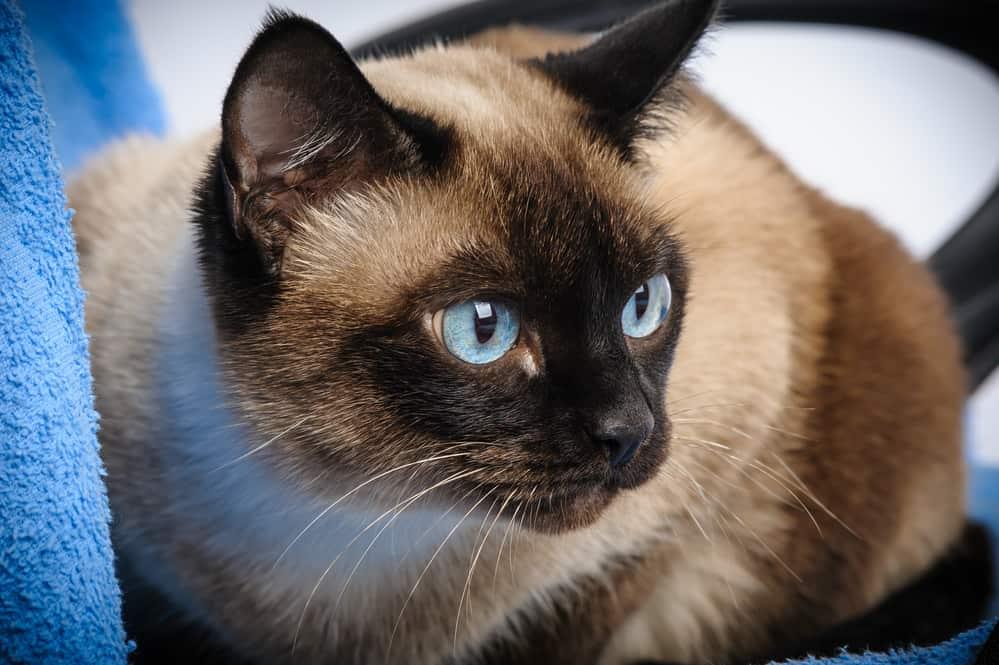 cute blue-eyed siamese cat